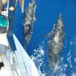 corsica sud tanti delfini